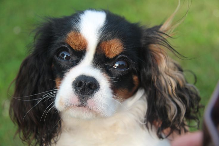 Tena Pearl - 9 months old - tricolor Cavalier King Charles Spaniel
