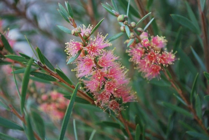 Callistemon Sugar Candy --- For more Australian native plants visit austraflora.com