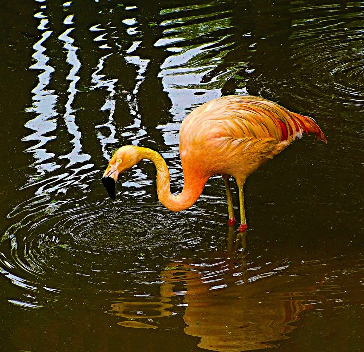 Flamingo (Zoo de São Paulo - SP - Brasil) | Flickr - Photo Sharing!