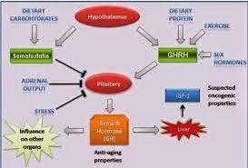 Os compostos que inibem a somatostatina hipotalâmica (SRIH) release (piridostigmina, arginina, galanin) melhoram de forma consistente, embora não normaliza a resposta ao GHRH na obesidade. A liberação de peptídeos sintéticos do hormônio do crescimento (GHRP) GHRP-6 e Hexarelin provoca em pacientes obesos respostas de GH superiores às evocada por GHRH, mas ainda inferiores às observadas em indivíduos magros.
