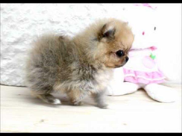 tiniest tiny micro teacup pomeranian puppy | Zoe Fans Blog