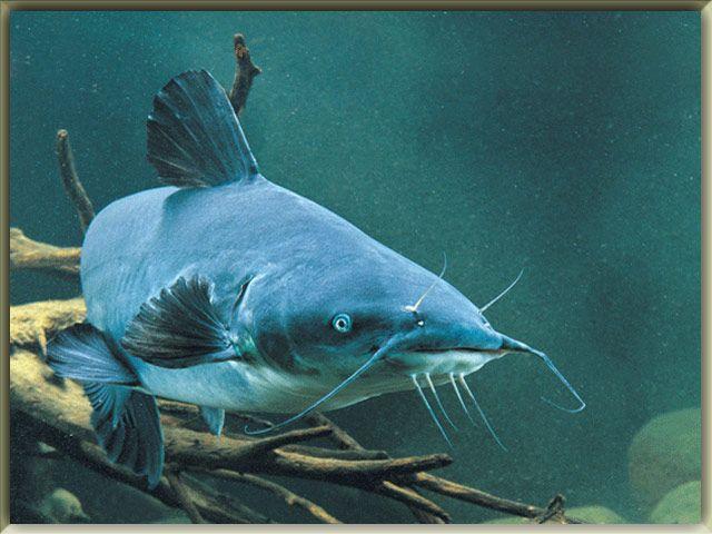 Blue Catfish Pictures