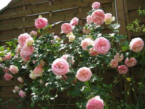 Éves munkák a rózsakertben-metszés, szaporítás - gazigazito.hu