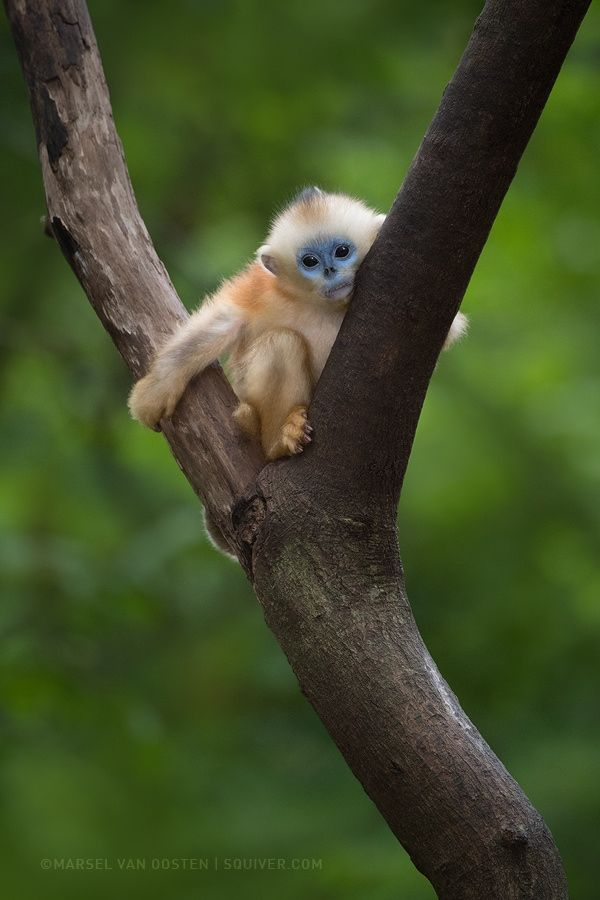 """Y - <a href=""""http://www.squiver.com/tours-workshops/china-wildlife-2017/"""">China's Endangered Wildlife</a> Photography workshop with Marsel van Oosten 18 April - 1 May 2017 www.squiver.com  This is a young golden snub-nosed monkey. A different species from the one I posted earlier. But just like the Yunnan snub-nosed monkey, they are also endangered. Less than 4,000 individuals of this sub-species live in the mountains of southern Shaanxi, China.  I wanted to take this little guy home to The…"""