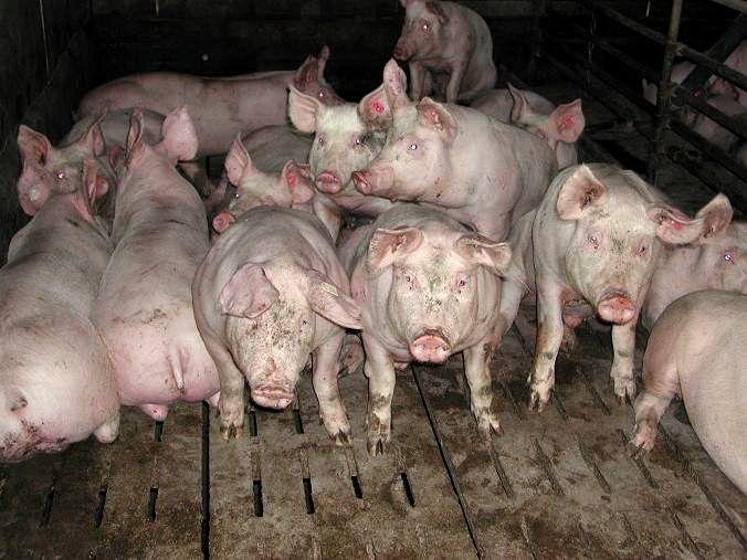 Massentierhaltung geht mit zahlreichen grundsätzlichen und auch speziellen Problemen für die Tiere einher. Doch auch die Biohaltung ist nicht problemlos.