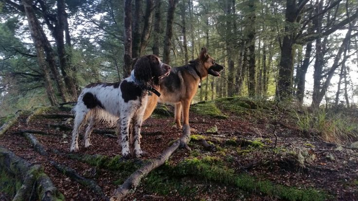 LOVE FIORDLAND - Happy Springer & GSD Doggles!