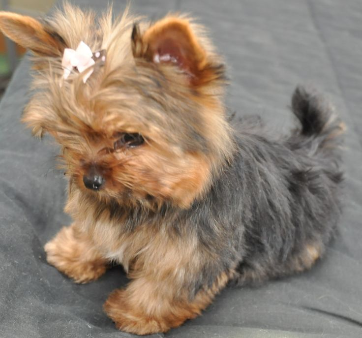 courtashyorkies Tiny T-cup yorkie pup 3 1/2 months...