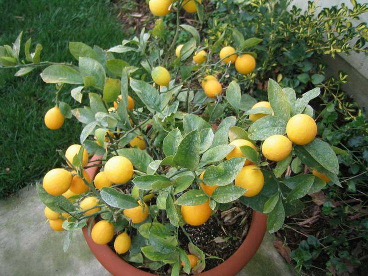 Dwarf Lemon Tree, Attractive Plants for Your Garden----Dwarf citrus trees, grafted onto Flying Dragon rootstock (which restricts the size of the tree but not the fruit) are ideal for smaller gardens and in large pots. Cutting grown trees such as 'Lots-a-Lemons' are best suited to large pots which provide adequate drainage for these dwarf multi-stemmed plants.