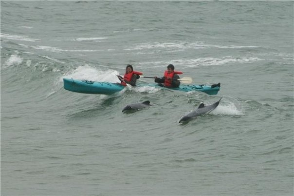 What's surfing with me in a Kayak?  Hector Dolphins, oh ya.