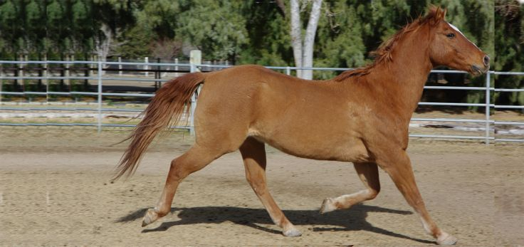 Waylay....AQHA registered red dun Quarterhorse.  Adopted to live out his final days on pasture while battling sarcoid cancer, only to miraculously have it disappear and so now I have a horse.