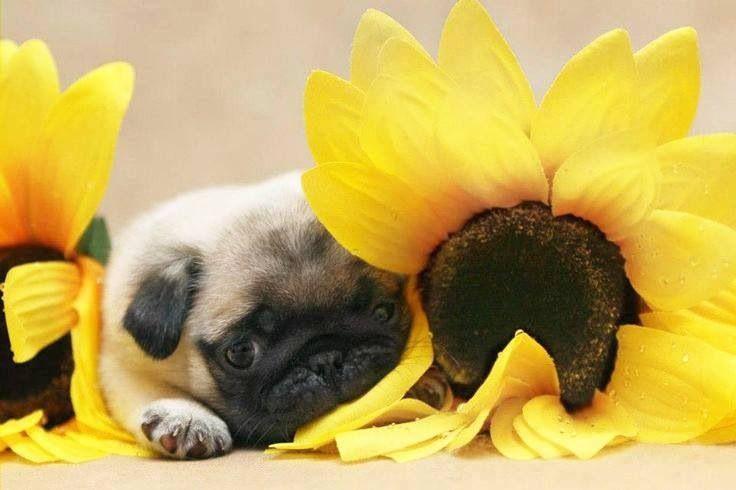 Sunflower & pug | PUGS | Pinterest | Pug and Sunflowers