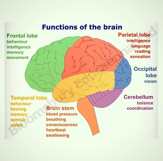 Functions of brain   Brain anatomy and function