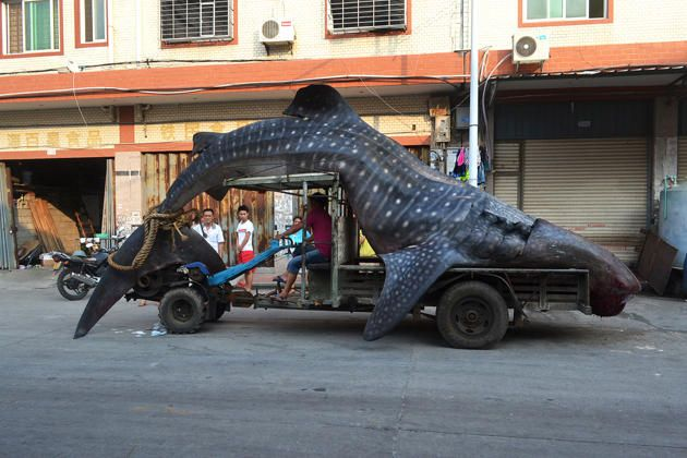 """This picture taken on August 1, 2014 shows a dead whale shark being carried on a tractor in a seafood wholesale market in Xiangzhi township in Quanzhou, east China's Fujian province. Local fishermen caught the whale shark which they thought was a """"sea monster"""" and reported to local police after returning from the sea, local media reported."""