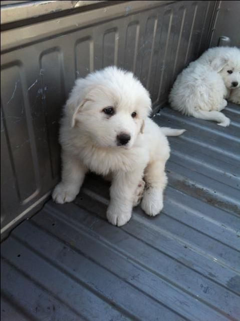 Great Pyrenees Puppy! My mom has one and she is so laid back. She's also really good with kids.