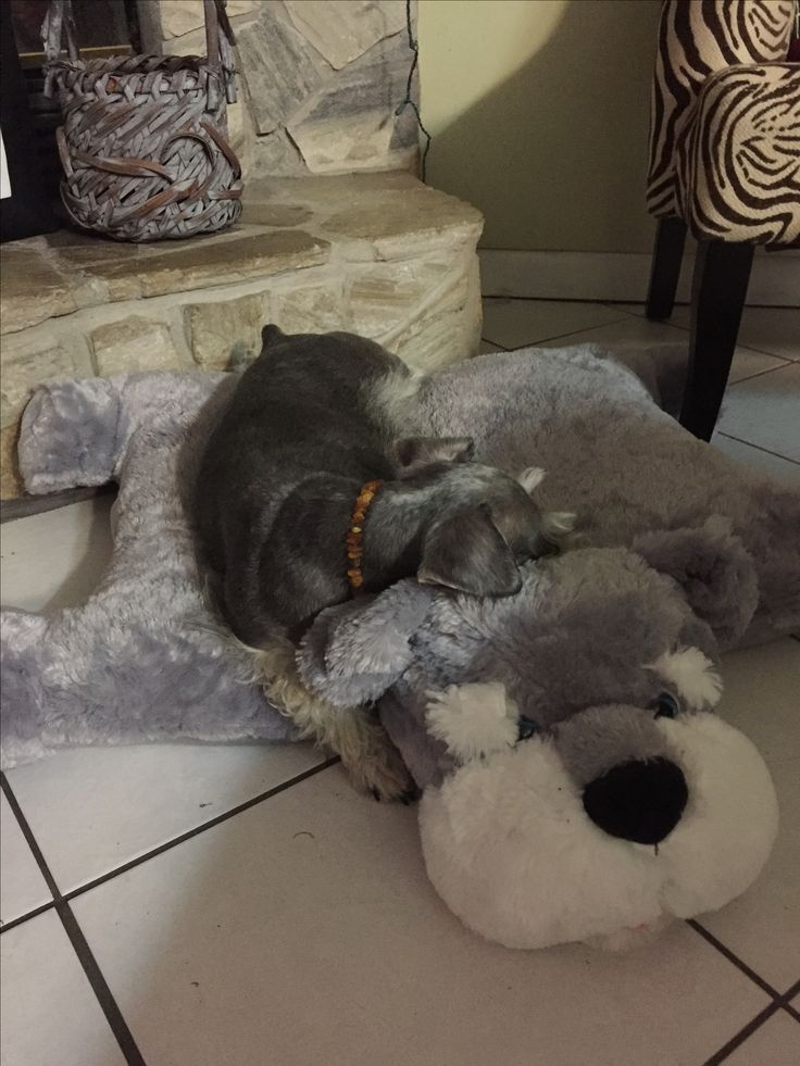 Have you hugged your schnauzer today?