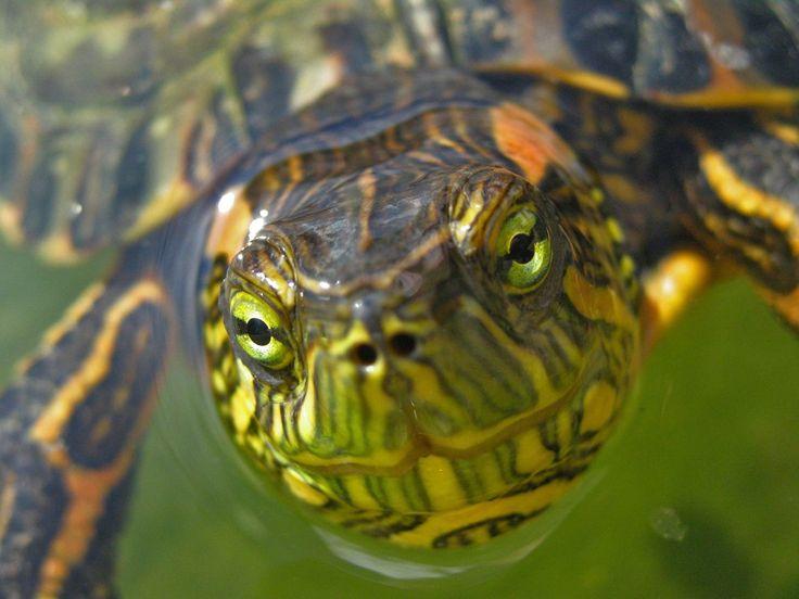 Turtle, eye, green, turtle, water, yellow