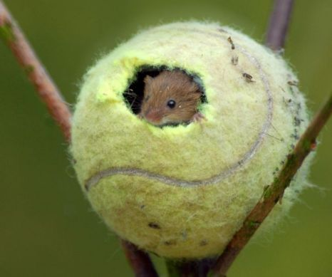 Cute picture alert: Mice make home in tennisballs                                                                                                                                                                                 More                                                                                                                                                                                 More