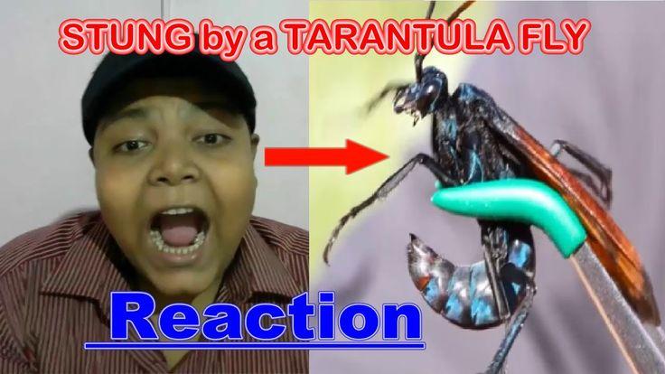 STUNG by a TARANTULA FLY Reaction