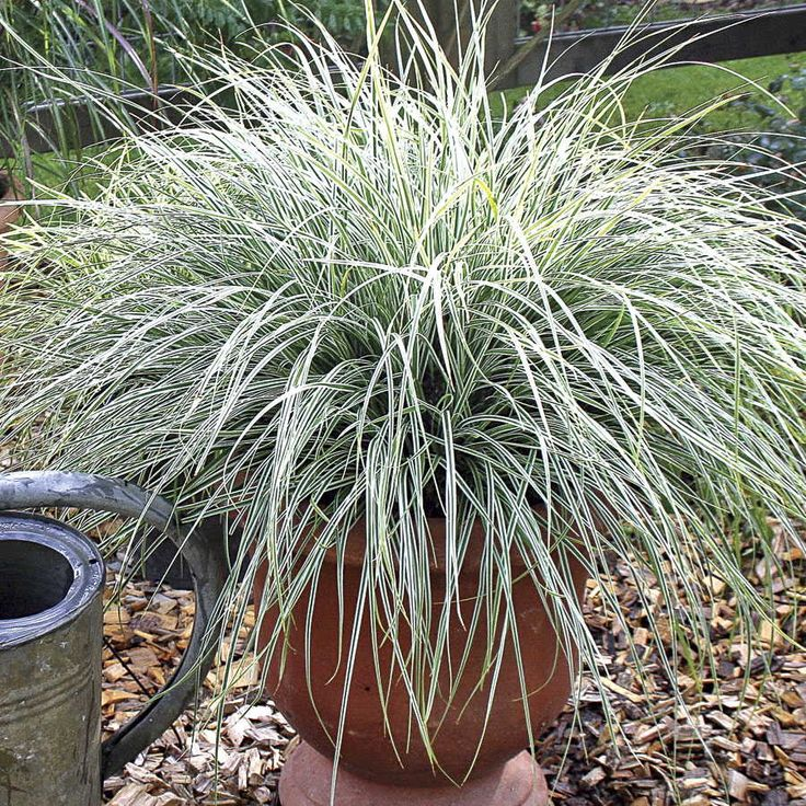 Evercolor everest variegated sedge edge the border and for Variegated grass plant