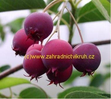 Indiánská borůvka Vicky - Amelanchier Lamarckii Vicky