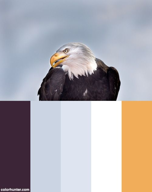 Weißkopfseeadler Color Scheme _ eagle business bold