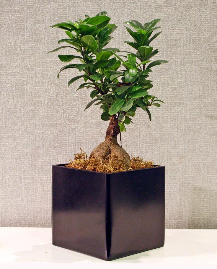 Bonsai σε μαύρο κύβο