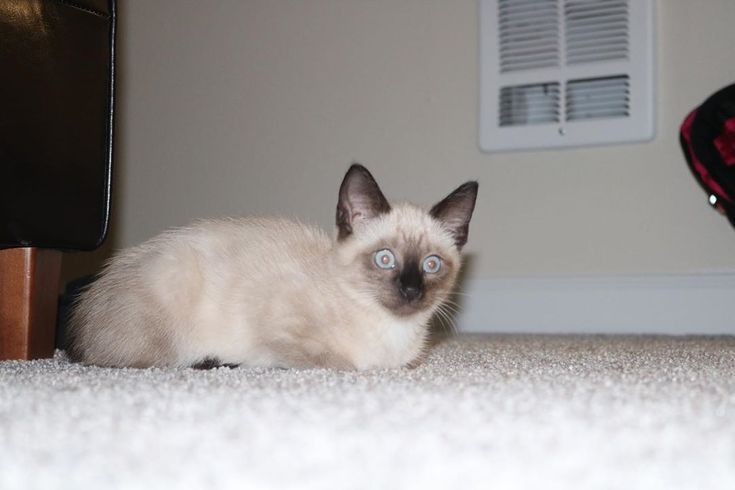 Hashtags Are Cringey But I Need Some More Followers Explorepage Siamese Kitt Siamese Kittens Ideas Of Si Siamese Kittens Kitten For Sale Kitten Adoption