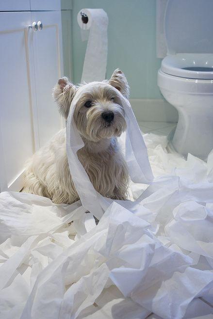 Un #WestHighlandWhiteTerrier che sembrerebbe perfino incolpevole! :-) #cani