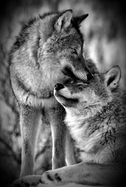 Wolfs, true lovers and they bond with the pack.
