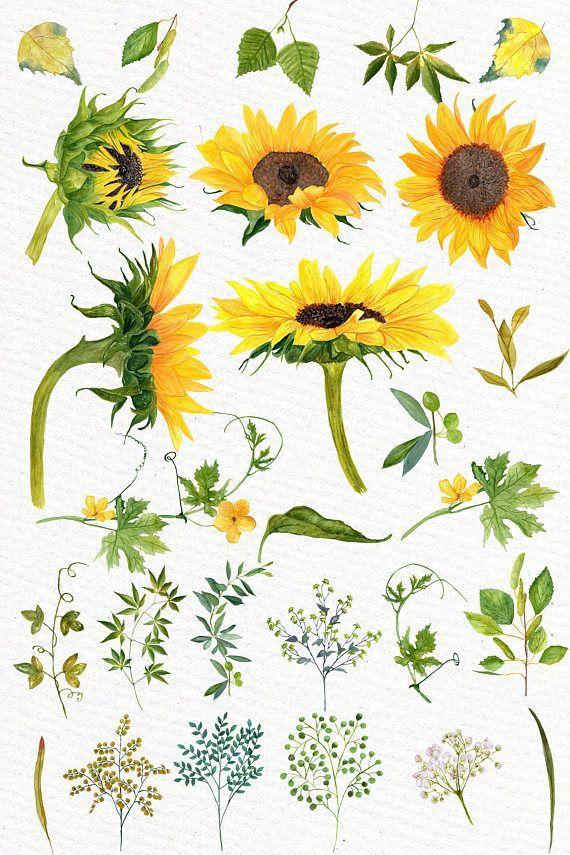 Sunflower Watercolor Clipart Sunflower Clip Art Wedding Clipart