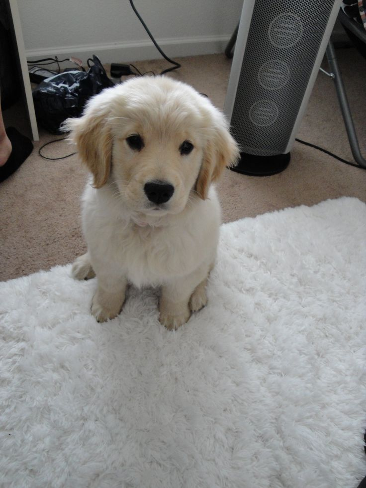 golden retriever puppies - Google Search
