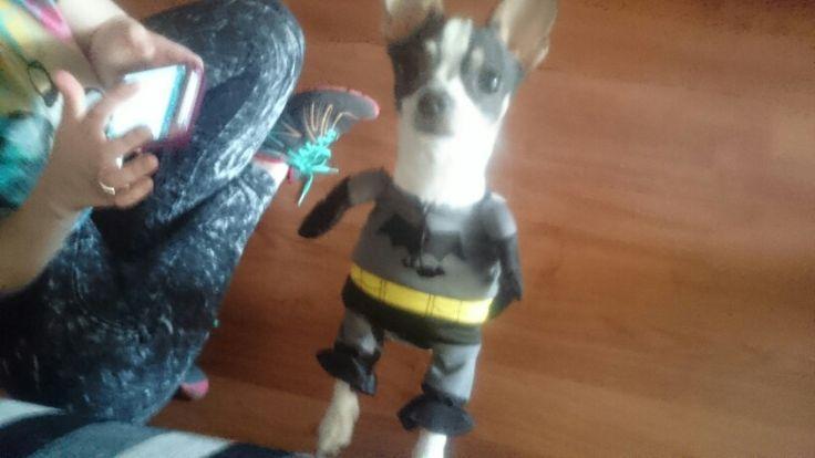 Batman Chihuahua