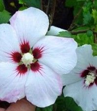 Ibištek sýrsky biely - Hibiscus syriacus - semiačka - 12 ks