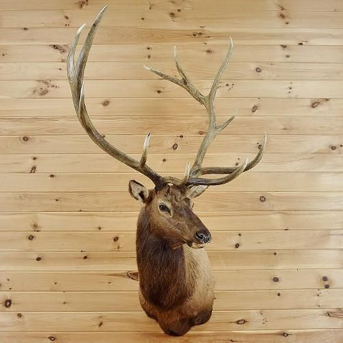 Elk Taxidermy Mount for sale at Safariworks Taxidermy Sales - SW2664