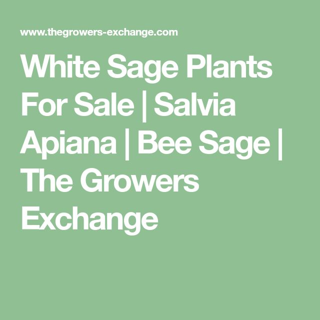 White Sage Plants For Sale | Salvia Apiana | Bee Sage | The Growers Exchange