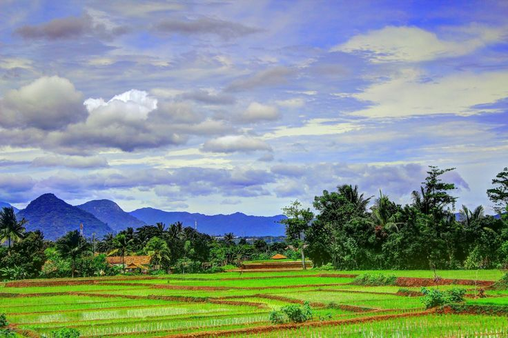 Rice Fields - Ricefields at somewhere in Purwakarta, West java - Indonesia.