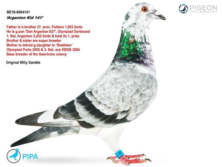 Argenton Kid 141 | PIPA