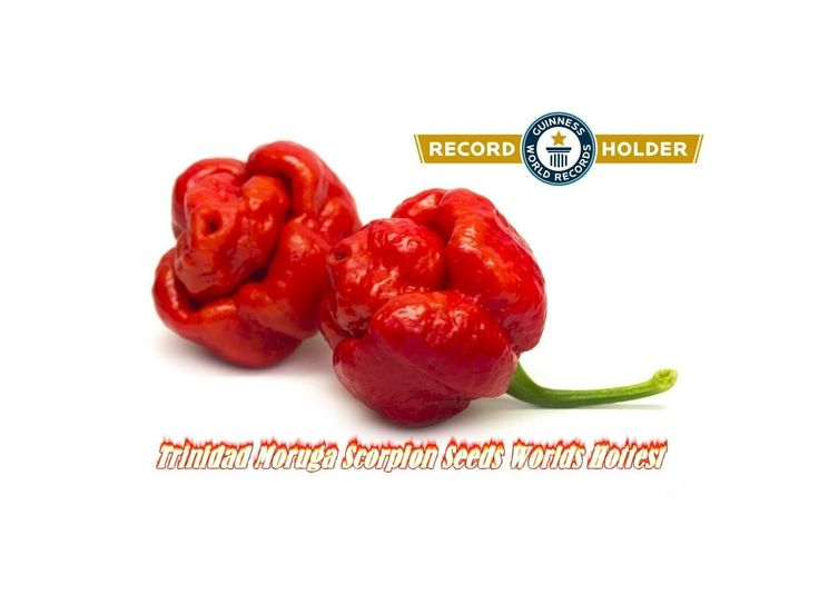 4,00 €Trinidad Moruga Scorpion Seeds Worlds Hottest 2mill. Scoville Units Price for Package of 5 seeds.  The Trinidad Moruga Scorpion (Capsicum Chinense), endemic to the district of Moruga in Trinidad and Tobago, is currently the world's hottest Chili pepper cultivar. The New Mexico State University's Chili Pepper Institute has identified the Trinidad Moruga Scorpion as the newest hottest chili