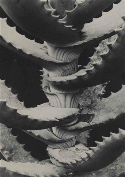 Lillacege Aloe Arboresceus - Albert Renger-Patzsch