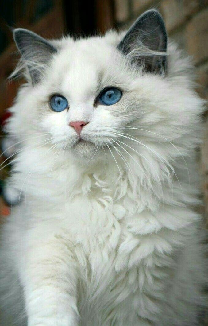 White Fur Blue Eyes Cat Chat Gato Adorable
