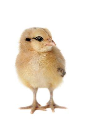 Ameraucana- Easter Egg Chickens for Sale- Buy Easter Egg Chicks