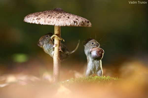 Под зонтиком ... Животные, мышь, лес, грибы, длиннопост