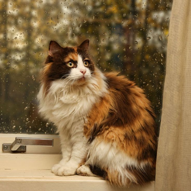 1037 best images about Calico Cats on Pinterest | Calico ...