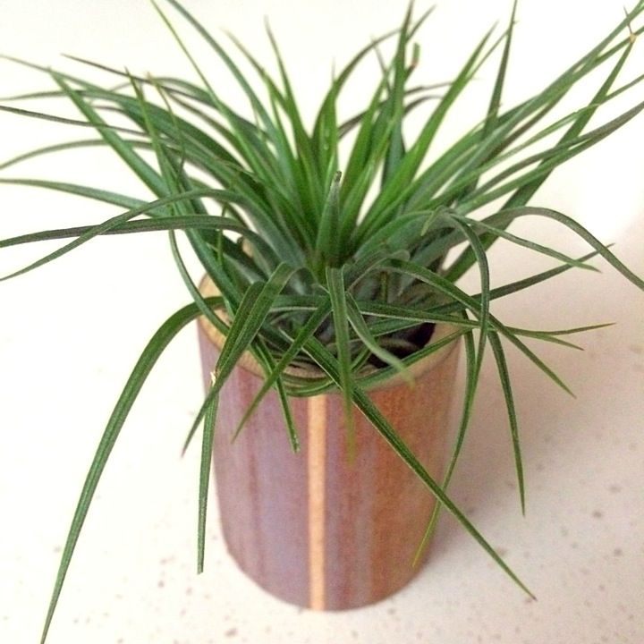Natural Bamboo Planter with Stricta #airplants #tillandsia #planters #airplantdesigns #bamboo