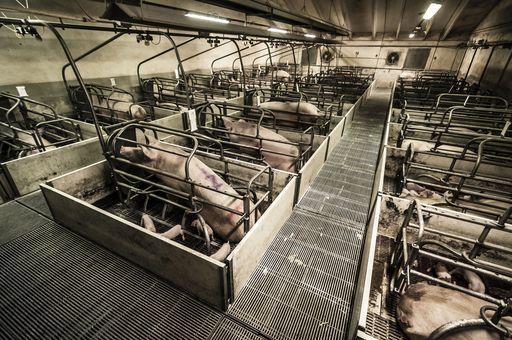 """""""Fabbriche di carne"""" è un'investigazione che mostra la realtà degli allevamenti di maiali in Italia.   Siamo entrati in più di 50 allevamenti, di giorno e di notte per testimoniare la situazione in cui sono costretti 13 milioni di maiali in tutto il paese. Un viaggio in un inferno che ci ha portato a contatto diretto con le vittime di questo sistema di schiavitù e con i loro sguardi, che chiedono la libertà e si perdono nell'indifferenza."""