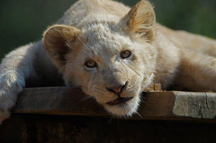 kleiner weißer Löwe  #photography #lion #bigcat #zooamneville #animal #sonyalpha #a99 by raphaelkugel