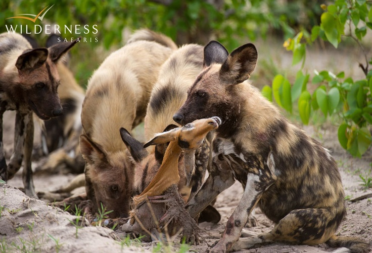 DumaTau Camp - the area is a hub for wild dog as there are three large resident packs in the area. Guests are often treated to outstanding sightings, especially after the impala calving season, as the dogs take advantage of the abundant food source. #Safari #Africa #Botswana #WildernessSafaris