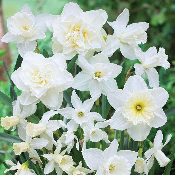 Narcissus 'White Diamonds Mixture' - Daffodil Bulbs - Thompson & Morgan