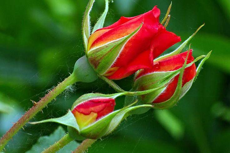 Картинки по запросу розы бутоны