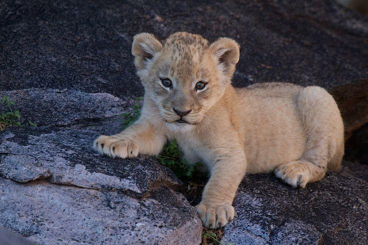 Tswalu Lion cub. by Gary Parker - Photo 19827091 / 500px